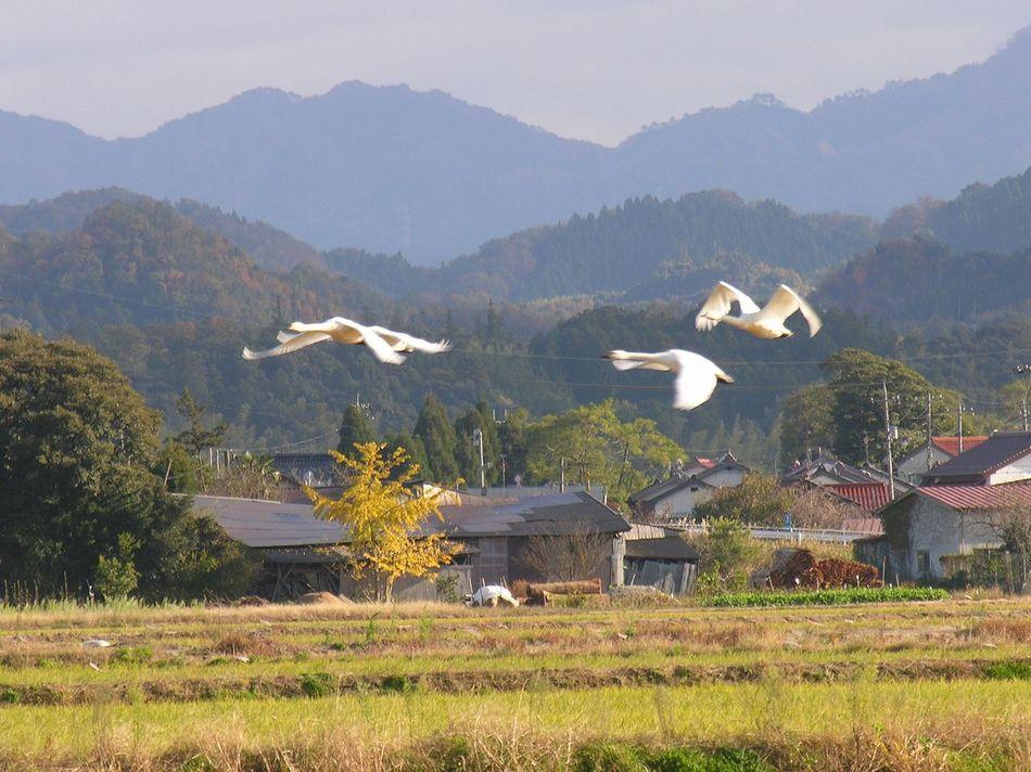 冬季限定 朝の白鳥見学ツアー付きプラン