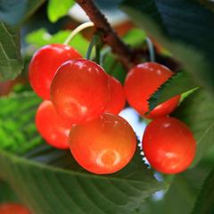 【朝摘みさくらんぼ狩り】さくらんぼは早朝が一番美味しい!贅沢な体験★果樹園まで送迎付