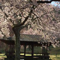 【楽天限定】お花見プラン*桜のお菓子と伊豆名産美味しいぐり茶でウェルカムのおもてなし