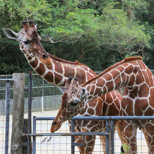 【家族で行きたい動物園】子供も大人も楽しめるワクワクのテーマパークへ♪沖縄こどもの国チケット&朝食付