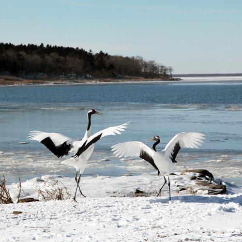 1/21~3/10のご予約こちらから【2食付】白鳥の飛来地&野鳥の楽園、風蓮湖からスグ!