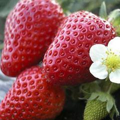 【鴨川でイチゴ狩り体験付】房総の一足早い春!カモシー&イチゴ欲張りプラン