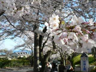 !!♪♪ 伊豆高原さくら祭り開催します。 ♪♪!! 【スタンダード料理全12品】