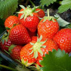 ☆甘〜い★イチゴ★食べ放題!真っ赤に完熟の新鮮イチゴに子どももニコニコ■いちご狩り付