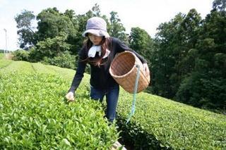 【茶摘体験♪】自分で摘んだ新茶をサクサク天ぷらでお夕食&宿おススメの磯料理♪