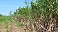 【はるさー(畑人)になろう!】沖縄でサトウキビ刈り体験![朝食付]