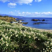 <<ポイント10%>>花*花*花♪下田の水仙と河津桜!海の香りと春のそよ風〜獲れたて地魚満喫