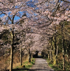 桜・しゃくなげお花見プラン
