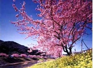南伊豆 みなみの桜