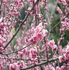 【春旅】はなもも街道お花見ドライブが◎飛騨牛山菜春御膳 桜草カクテルでカンパイ!