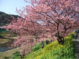 ♪2月10日〜3月10日限定南伊豆の桜と菜の花祭りプラン♪
