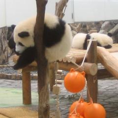 アドベンチャーワールド入場券付☆ジャイアントパンダに会いに行こう♪当館から車で10分!【2食付】