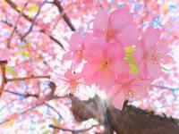 【春限定】一足早い春を目と舌で楽しむ!伊豆名産の金目鯛と伊豆の桜を使った春限定創作ディナーコース