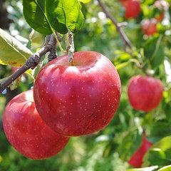 【期間限定】まっ赤に実った秋の味覚を召しあがれ♪☆『りんご狩り』プラン♪