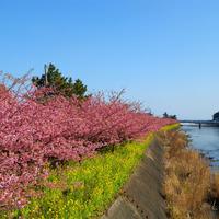 【河津桜】河津桜まつり2020 ご宿泊プラン☆日本一最初に桜を愛でる名所めぐり
