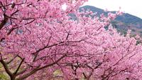 【さくら海老・スイーツ・お弁当と桜尽くしの特典】一足早い春の訪れを感じる「河津桜」を鑑賞★