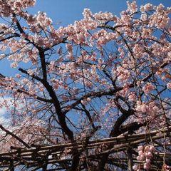 門出を祝う千代の春〜卒業・入学・就職、そんな人生の節目に〜