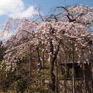 【桜観覧】ゆめやでお花見プラン〜桜お菓子&夜桜一献プレゼント付〜