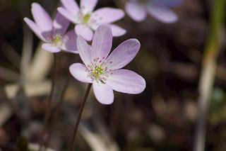 春の山野草を楽しむ〜弥彦トレッキング満喫プラン〜翌日におにぎり+チェックアウト後の入浴付き!