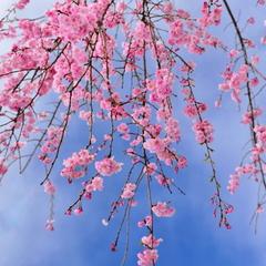 """【春限定*さくらプラン】3種の""""春茶""""&お茶菓子のプレートで心はワクワク!早めの春を感じよう♪"""