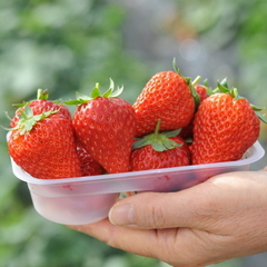 【イチゴ狩り】あまずっぱくてビタミンC豊富ないちごを思いっきり食べちゃおう◆木・金・土曜限定