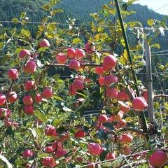 【●りんご園割引券付●】もぎたてりんご♪その場でまるごとがぶりっ!秋を満喫★<現金特価>