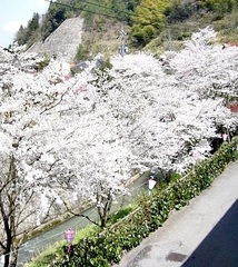 ♪桜ひらひら♪石見の春を満喫!!◎『川隅会席プラン』◎