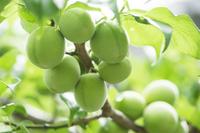 【梅の収穫祭】体験工房にて梅酒作り My梅酒