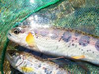 ☆渓流釣りで自然を満喫♪ 夕食のBBQで、自分の釣った魚も味わっちゃおう!!