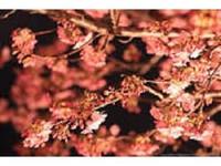 夜桜◆桜並木・宿泊プラン♪
