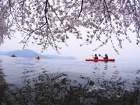 桜百選の海津大崎や奥琵琶湖をカヤックでお花見体験ツア【カップル・ファミリー・シニア】体験費用別途必要