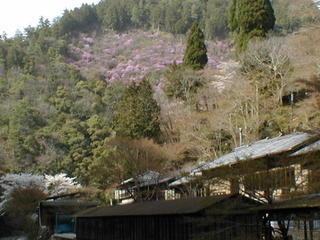 春の会席料理と北野天満宮の梅・平野神社の桜に高雄では新緑とミツバツツジ 是非!春満喫