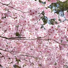 【春らんまん♪】当館パティシエが作る【特性お花見弁当スイーツ付きプラン】!◎素泊まり◎