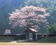 ☆お花見プラン☆日本料理「橘」のお弁当をもってお花見に出かけよう!(朝食ブッフェ付き)