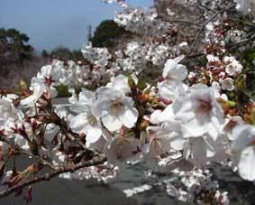 春の一日限定三組!桜鯛 『鯛づくしプラン』