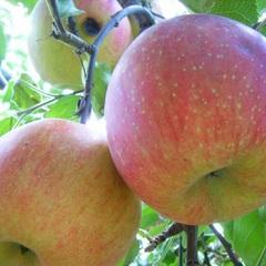 期間限定【秋のりんご狩り体験】旬を楽しむ!南信州の甘〜い♪りんごを収穫して丸かじりっ!【現金特価】
