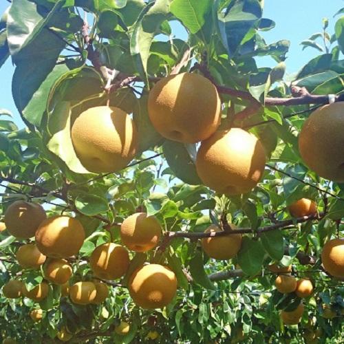 地元「男鹿梨」をお1人様2個付き♪旬のジューシーなフルーツを味わって!スタンダード磯焼き付