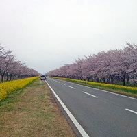 【春満開】ピンクと黄色のコントラスト♪男鹿の桜&「菜の花ロード」ドライブ★春のお花見プラン