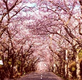 ○桜ふわり○フレンチ×さくら色スパークリングワインのマリアージュ♪