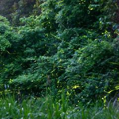 【夜のホタル散歩】 案内人と一緒に夏の里山へ♪ ガイドがご案内♪ ホタル観賞♪