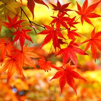 【秋旅】期間限定◆紅葉狩り◆秋はのんびり紅葉を楽しもう!今だけの紅葉露天を満喫♪
