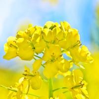 【GW】【素泊り】《いいやま 菜の花公園*斑尾高原 水芭蕉》周辺観光に最適な季節♪爽やか高原へGO!