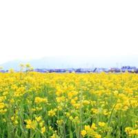 【GW】【朝食付】《いいやま 菜の花公園*斑尾高原 水芭蕉》周辺観光に最適な季節♪爽やか高原へGO!