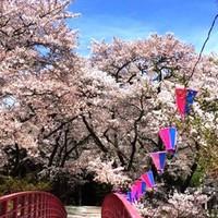 【高遠さくら祭り】まで車で約50分!【木曽路一本しだれ桜】も!いろいろ鑑賞♪桜満開お花見プラン