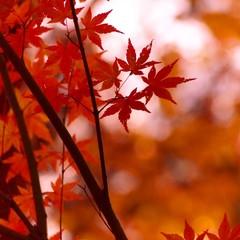 【秋限定】信州牛陶板焼き×松茸土瓶蒸し×炊き込みご飯♪信州秋の味覚満喫プラン【紅葉】