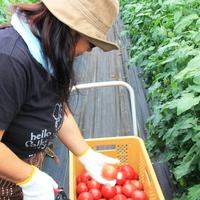 【収穫体験】とみもと農園でトマト狩り体験 入園料込み。トマトジュース&トマトジャムの嬉しいお土産付♪