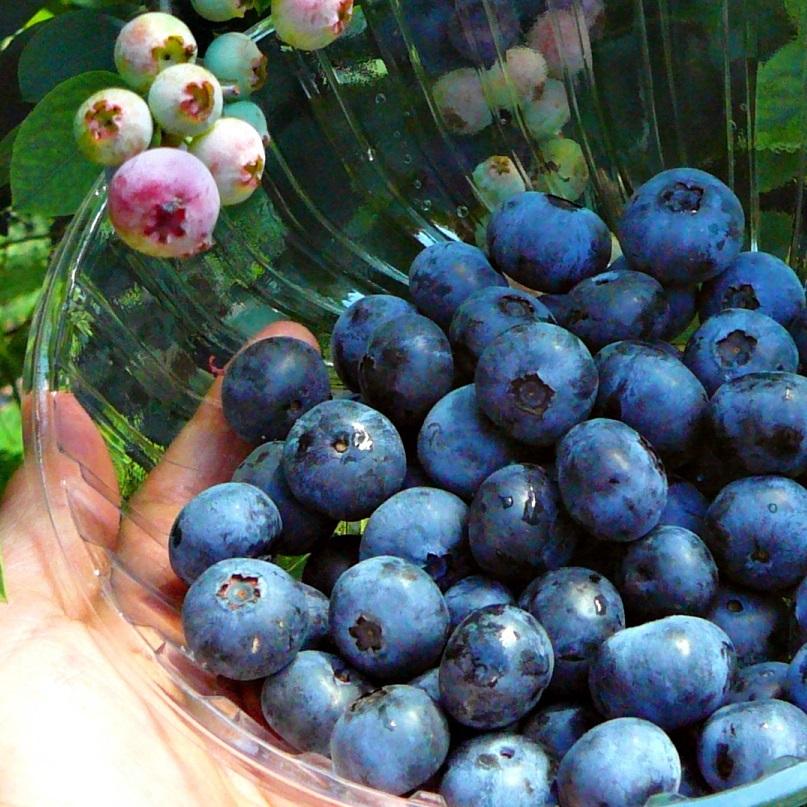 【ブルーベリー狩り】30分食べ放題&お土産付☆もいで・食べて・楽しんで♪高島の自然で感動体験 朝食付