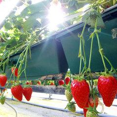 【完熟いちご狩り】真っ赤に甘く熟したイチゴを食べ放題♪宿泊プラン