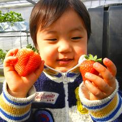 【摘みたての甘〜いイチゴが食べ放題】4種のいちごを食べ比べ♪春を満喫!いちご狩りプラン【北関東魅力】