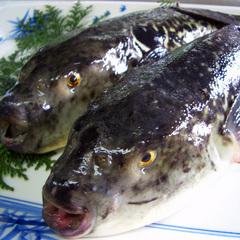 コラーゲンたっぷり♪福を呼ぶ魚「河豚」をお一人様に1匹!ふぐ満喫フルコース♪ 伊根の舟屋×天然温泉
